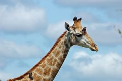 Giraffe. In the bushveld of South Africa, with oxpecker birds Stock Photo