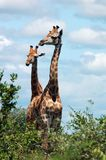 Giraffe. In the bushveld of South Africa Royalty Free Stock Photos