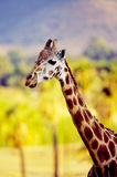 Giraffe. With blurred background stock image