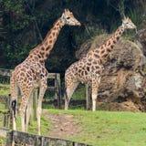 giraffe Immagine Stock Libera da Diritti