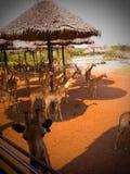 Giraffe Στοκ Φωτογραφία