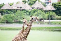 giraffe Immagini Stock