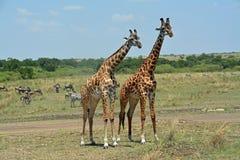 giraffe Immagini Stock Libere da Diritti