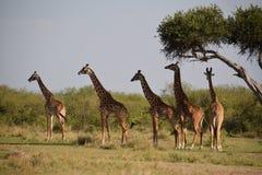 Giraffe στοκ εικόνες