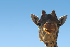Giraffe. With copy space Royalty Free Stock Images