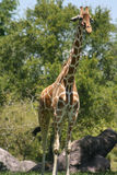 Giraffe. A giraffe standing tall in front of some rocks royalty free stock image