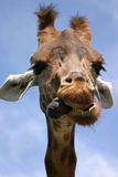 Giraffe. Close up of a giraffe showing its tongue Royalty Free Stock Photography