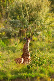 giraffe Foto de Stock