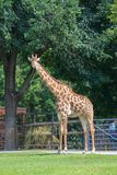 Giraffe στοκ φωτογραφίες