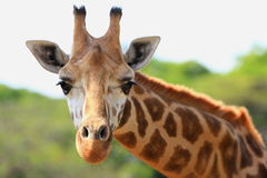 Free Giraffe Royalty Free Stock Photo - 5320545