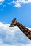 Giraffe Στοκ Εικόνα