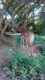 giraffe Foto de Stock Royalty Free