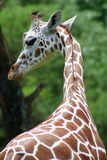 Giraffe. Shot of a giraffe with head turned toward the side stock images