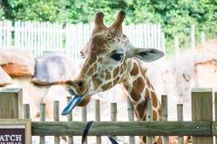 Giraffe Στοκ εικόνα με δικαίωμα ελεύθερης χρήσης
