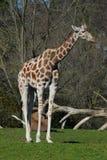 Giraffe Stock Photography