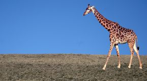 Giraffe Fotos de Stock