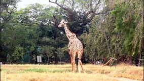 giraffe video d archivio