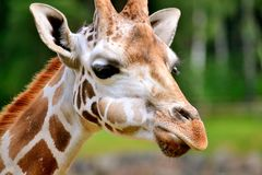 Giraffe Στοκ φωτογραφίες με δικαίωμα ελεύθερης χρήσης