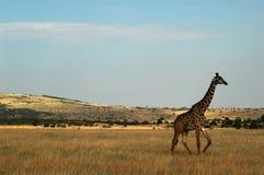 Giraffe. Walking in Masai Mara Reserve Stock Photo