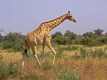 Giraffe Lizenzfreie Stockbilder