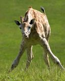 Giraffe. Young giraffe eating grass Royalty Free Stock Image