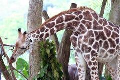 Giraffe. A young giraffe royalty free stock photography