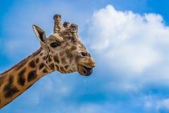 giraffe Fotografia Stock Libera da Diritti