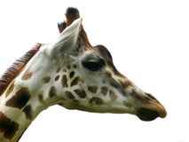Giraffe. Giraff's head on white background Stock Photography