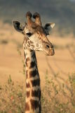 Giraffe. Photo of a Wild Giraffe in an Africa landscape Royalty Free Stock Image