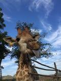Giraffe Στοκ εικόνες με δικαίωμα ελεύθερης χρήσης