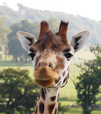 Giraffe. Curious giraffe looking in to the lens Stock Images