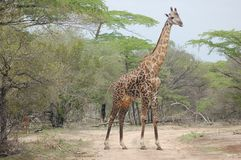 Giraffe. Stand on the road Royalty Free Stock Image