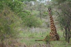 Giraffe. Sit on grass Stock Image