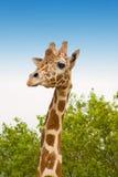 giraffe Стоковое Изображение
