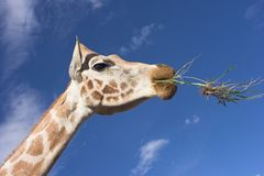 Giraffe. Head royalty free stock photos