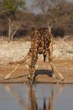 Giraffe. Drinking Giraffe at the waterhole in the Etosha National Park, Namibia stock image