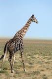 giraffe Стоковая Фотография RF