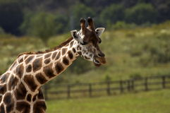 Giraffe. In ZOO Stock Images