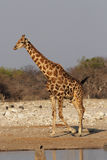 Giraffe. At the waterhole in the Etosha National Park, Namibia stock image