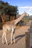 Giraffe. A giraffe in the zoo royalty free stock image