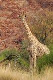Giraffe. (Giraffa camelopardalis) in Damaraland in Northern Namibia stock images