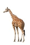 Giraffe. Photo of a giraffe, isolated over white Stock Images