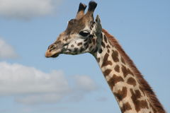Giraffe Royalty Free Stock Images