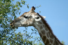 Giraffe. A giraffe eating some leaves Royalty Free Stock Images