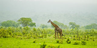 Giraffe. The picture shows a lonely giraffe in mikumi national park, tanzania Royalty Free Stock Photo