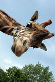 Giraffe. A giraffe that extension attention royalty free stock images