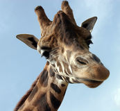 Giraffe. A giraffe that extension attention Royalty Free Stock Photo