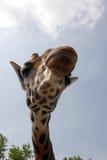 Giraffe. A giraffe that extension attention Stock Photography