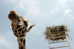 Giraffe. A giraffe with its food Stock Image