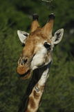 Giraffe. Male Giraffe standing very tall royalty free stock photos